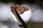 Monarch-03