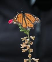 Monarch-05