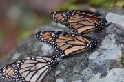 Monarch-06