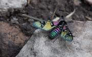 Monarch-07