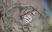 Monarch-09