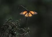 Monarch-13