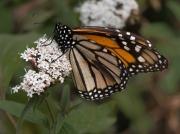 Monarch-15