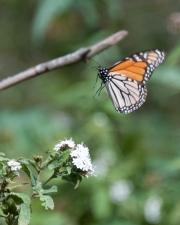 Monarch-21
