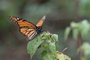 Monarch-24