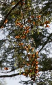 Monarch-26