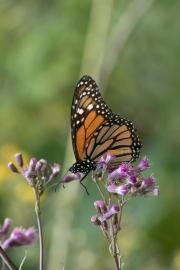 Monarch-27
