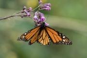 Monarch-30