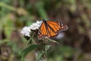 Monarch-34