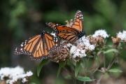 Monarch-44