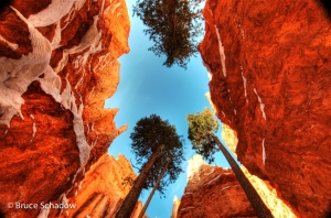 Bryce Navajo Trail Trees
