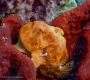 Salmon Frogfish-Dominica