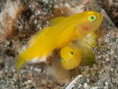 009Yellow Goby