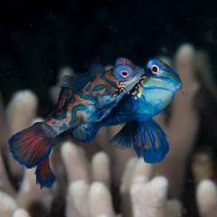 002Mandarinfish