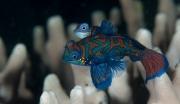 003Mandarinfish