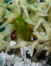 009Hairy Green Goby