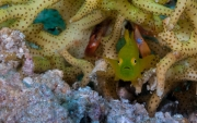 010Hairy Green Goby